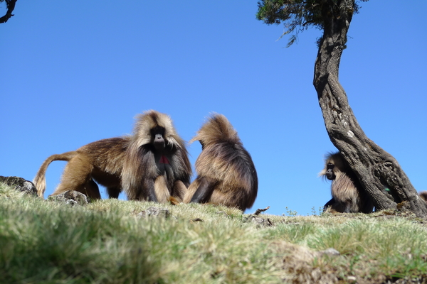 Les babouins Geladas